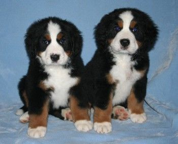 Puppies Sunshine Bernese